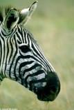 Zebra, Nairobi 0526