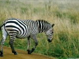 Zebra, Nairobi 0532