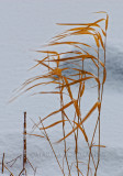 Reeds blowing in the harsh winter wind