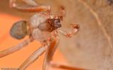 Sicariidae
