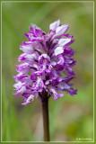 Genus Orchis