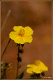 Geel zonneroosje - Helianthemum nummularium