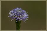 Kogelbloem - Globularia bisnagarica L.