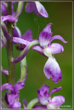 Mannetjesorchis - Orchis mascula