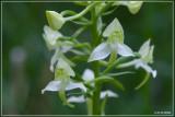 Bergnachtorchis - Platanthera chlorantha