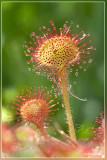 Ronde zonnedauw - Drosera rotundifolia