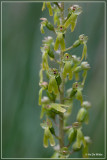 Grote keverorchis - Neottia ovata