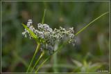 Bosbies - Scirpus sylvaticus