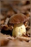 Gewone fluweelboleet - Xerocomus subtomentosus