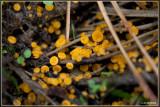 Geel Schijfzwammetje - Bisporella citrina
