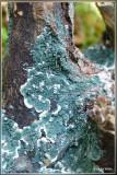 Groen viltmatje - Trichoderma viride