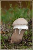Plooivoetstuifzwam - Calvatia excipuliformis
