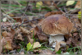 Gewoon Eekhoorntjesbrood - Boletus edulis