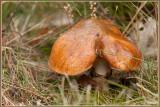 Bruine Ringboleet - Suillus luteus