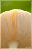 Vliegenzwam - Amanita muscaria