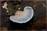 Blauwe Kaaszwam - Oligoporus caesius