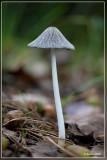 Hazenpootje - Coprinus lagopus