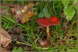 Oranjerode stropharia - Psilocybe aurantiaca