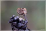 Oorlepelzwam - Auriscalpium vulgare