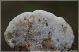 Witte Bultzwam - Trametes gibbosa