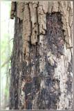 Echte Honingzwam - Armillaria mellea