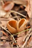 Zeemkleurig Hazenoor - Otidea alutacea