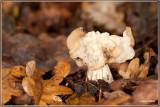 Witte Kluifzwam - Helvella crispa