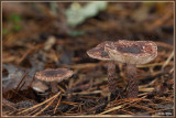 Purperbruine Parasolzwam - Lepiota fuscovinacea