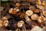 Geel Nestzwammetje - Crucibulum crucibuliforme