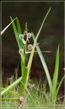 Grote egelskop s.l. - Sparganium erectum
