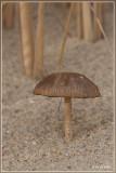Duinfranjehoed - Psathyrella ammophila