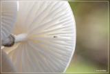Porseleinzwam - Oudemansiella mucida