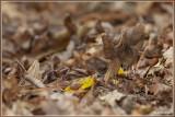 Zwarte kluifzwam - Helvella lacunosa