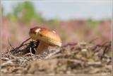 Bronskleurig Eekhoorntjesbrood - Boletus aereus