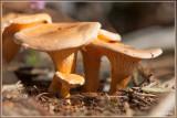 Valse hanenkam - Hygrophoropsis aurantiaca