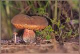 Roodsteelfluweelboleet (s.l.) - Boletus chrysenteron