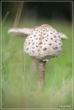 Grote parasolzwam - Macrolepiota procera