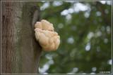 Pruikzwam - Hericium erinaceus