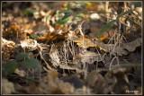 Draadknotszwam - Macrotyphula juncea