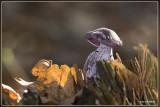 Paarse schijnridderzwam - Lepista nuda