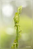 Genus Habenaria