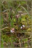 Lavendelhei - Andromeda polifolia