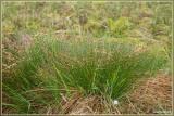 Veenbies - Trichophorum cespitosum