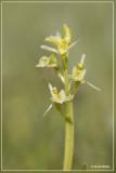 Genus Liparis