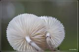 _MG_1170kopie.jpgPorseleinzwam - Oudemansiella mucida