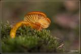 Gewoon vuurzwammetje - Hygrocybe miniata