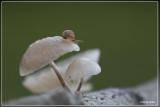 _MG_9951.jpg Porseleinzwam - Oudemansiella mucida