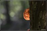 Judasoor - Auricularia auricula-judae