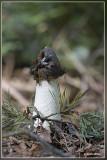 Grote stinkzwam - Phallus impudicus