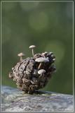 Muizenstaartzwam - Baeospora myosura